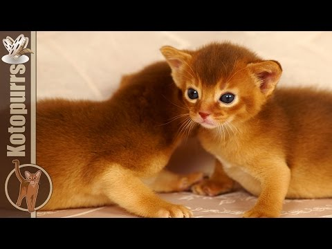 Abyssinian baby kittens in the big world [kotopurrs]
