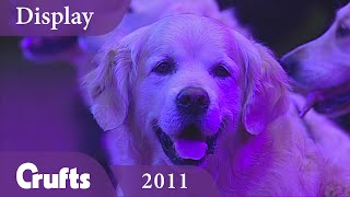 Southern Golden Retriever Display Team performs at Crufts 2011 | Crufts Classics thumbnail