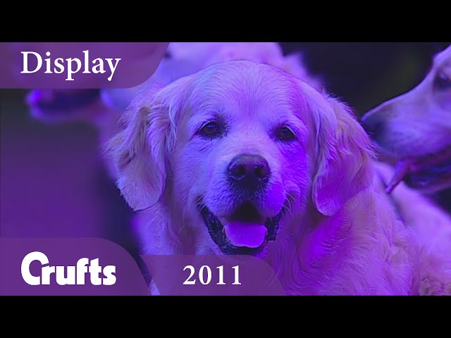 Southern Golden Retriever Display Team performs at Crufts 2011 | Crufts Classics
