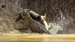 Jaguar vs croco combat à mort!!! incroyable!!