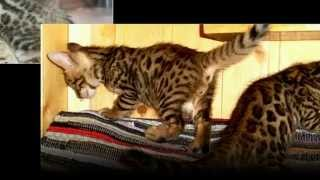 Бенгальские Котята, Маленькие Леопарды, Породы Кошек