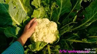 КАПУСТА- отличный гибрид и сорт/ 01.09.18// #капуста #обзор #урожай #cauliflower #savoicabbage