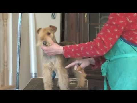 Trimming the Lakeland Terrier Part 2