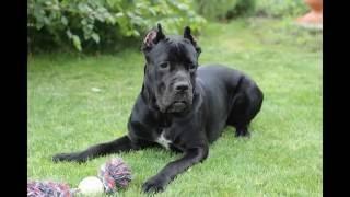 Cane Corso dog training, тренировка собаки Кане Корсо