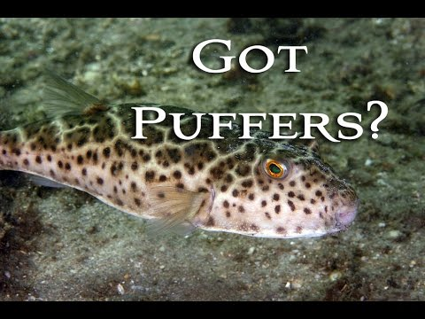Catching, Cleaning And Cooking Toadies! Checkered Puffer! Tasty Tuesday 31