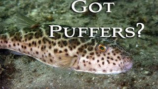 Repeat youtube video Catching, Cleaning and Cooking Toadies! Checkered Puffer! Tasty Tuesday 31
