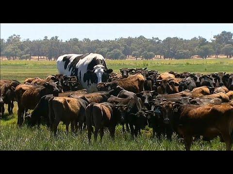 Download Australien: 1,4 Tonnen Ochse passt nicht in die Schlachtanlage