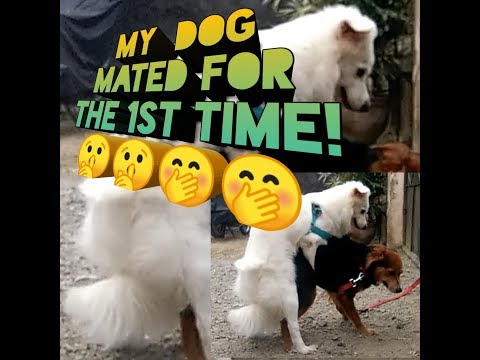 Part 1 Dog mating - Mixed Labrador x Japanese Sptiz