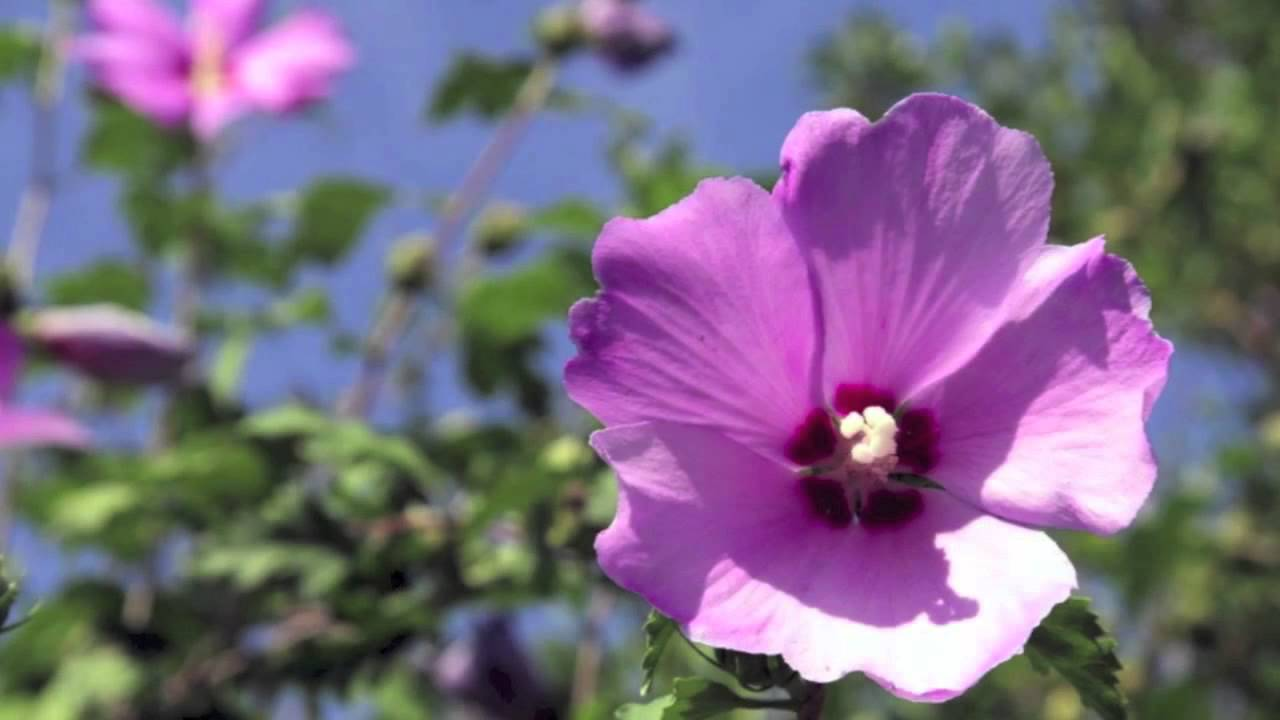 Purple Hibiscus Youtube
