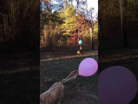 Dog balloon challenge lol 🐶