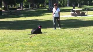 Los Gatos Dog Training A Labrador To Down 408-455-1503
