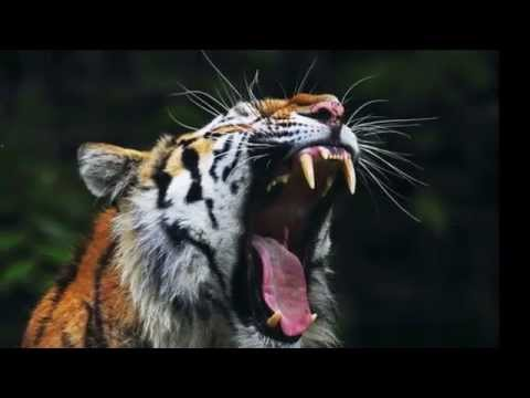 Tigre rugido - Tiger's roar sound - high quality - the best
