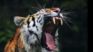 Tigre rugido - Tiger