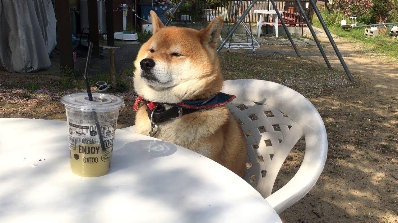 て つくん 柴犬 「お出かけスね。(スッ)」飼い主の外出に気づき、しつこく車に乗り込もうとする頑固な柴犬【動画】