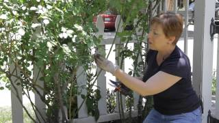 How to Prune Roses & the Suckers : Garden Space