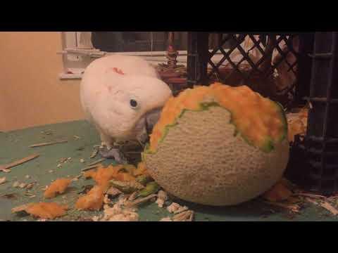 Cockatoo chews up a cantaloupe
