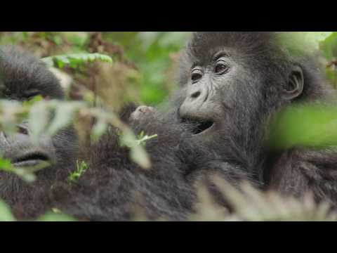Gorilla Trekking in Rwanda with TCS World Travel
