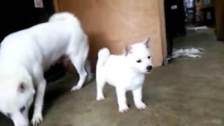 子犬のブリーダー直販支援サイト「子犬の窓口」 村山ブリーダーの北海道...