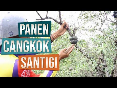 Panen Cangkokan Bahan Bonsai Santigi (Pemphis Acidula)