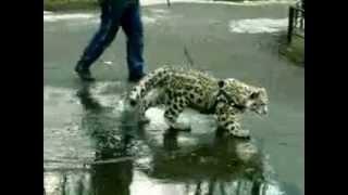 Ашера - крупная кошка, но все таки не леопард