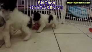 Shichon, Puppies, For, Sale, In, Mobile, County, Alabama, Al, Huntsville, Morgan, Calhoun, Etowah, H