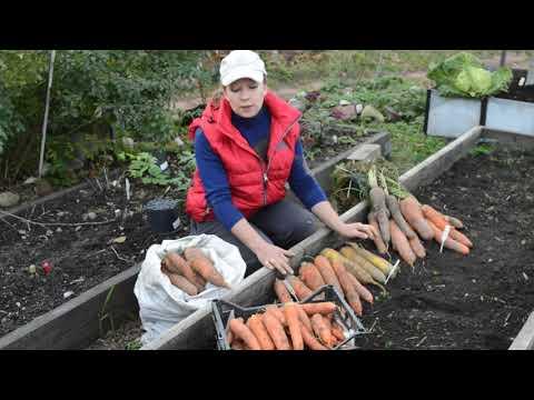 Сорта моркови: выбираем лучшие | посадка | морковь | моркови | лучшие | сорта | видео | ютуб | зиму | под | мо