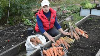 сорта моркови: выбираем лучшие