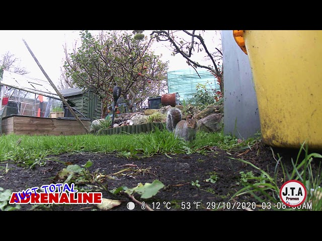 Grey squirrel under the bird feeders in a Scottish Garden - W8 HD Wildlife Camera clip JTAPromos.net