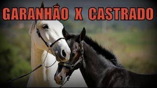 Cavalo castrado ou inteiro? thumbnail