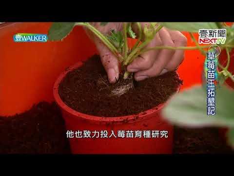 壹Walker-第152集 part1 草莓苗王拓墾記