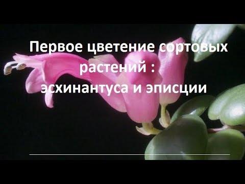 Первое цветение сортовых растений : эсхинантуса и эписций