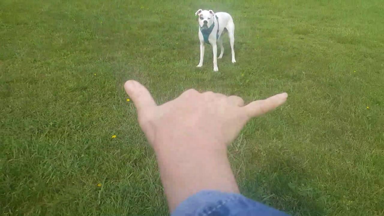 Deaf Dogs Rock Long Distance Recall Training With Deaf Dog Nitro