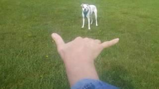 "Deaf Dogs Rock long distance ""recall"" training with Deaf dog Nitro"