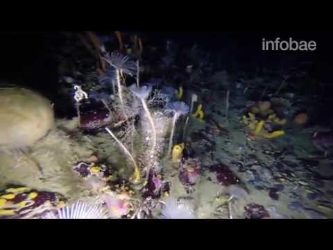 Muchas veces hemos visto inmersiones bajo el hielo de la Antártida pero hay lugares a los que no llega el ser humano. Me hubiera gustado ver la cara de sorpresa que se les tuvo que quedar a los científicos cuando vieron las imágenes captadas por un robot bajo la banquisa de la Antártida. Un mundo fantástico y colorido de esponjas con forma de cocos, gusanos parecidos a dientes de león y algas rosadas aparecieron como si de un mundo de fantasía se tratase.
