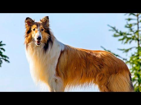 Lassie Video