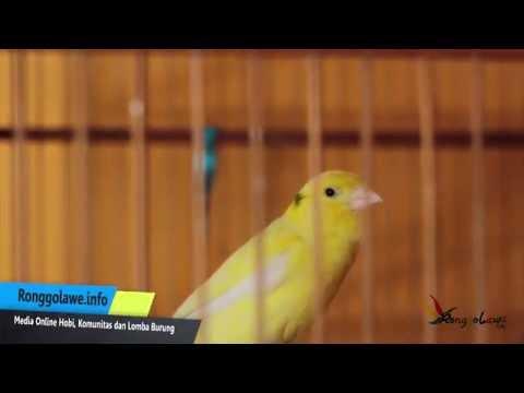 Download Suara Burung Kenari Mp3 Durasi Panjang