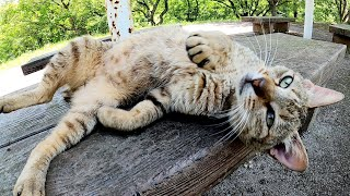 ベンチで寝転がるキジトラ猫をモフったらメチャクチャ可愛い声で喜んでくれた