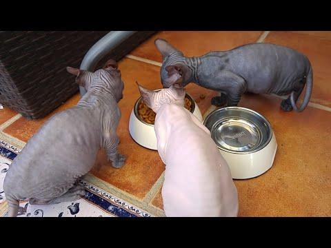 Sphynx kittens eat so loudly / DonSphynx