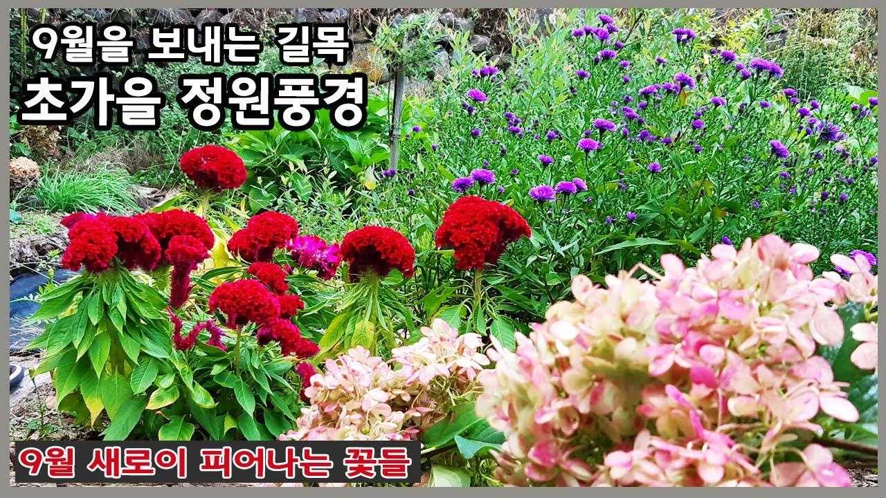 초가을 아스타국화 만개한 정원풍경/ 9월 새롭게 피는 꽃 구경