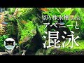 【切り株水槽#8】アベニーと混泳する熱帯魚 の動画、YouTube動画。