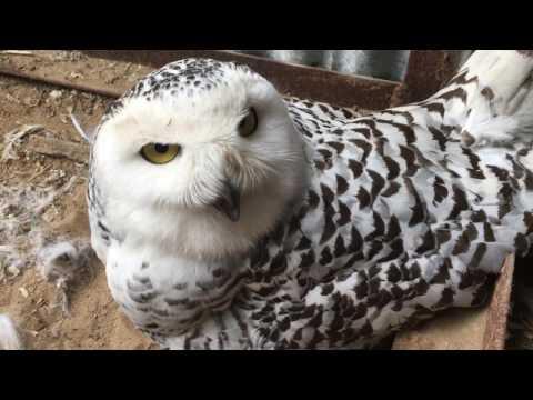 Белая сова на гнезде питомник /Bubo Scandiacus