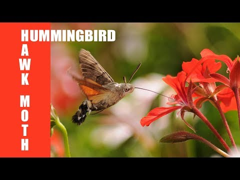 10 Fascinating Facts About The Hummingbird Moth - Farmers