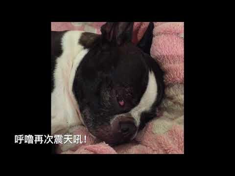 Snoring Boston Terrier_打呼噜的汪星人/我的奥