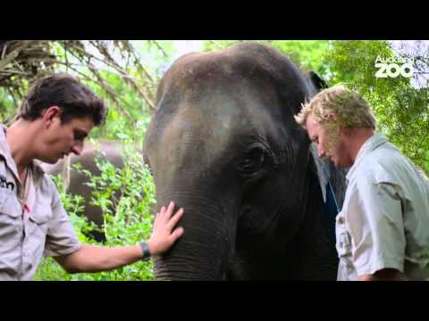 Thumbnail: Zoo Tales - Elephant update with Andrew