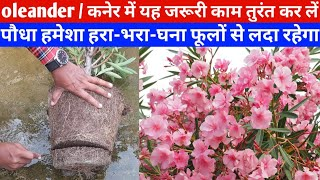 oleander कनेर में यह जरूरी काम तुरंत करें कनेर हमेशा हरा-भरा-घना फूलों से लदा रहेगा monsoon season