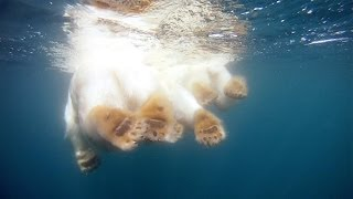 Baixar GoPro: Polar Bears - The Quest for Sea Ice
