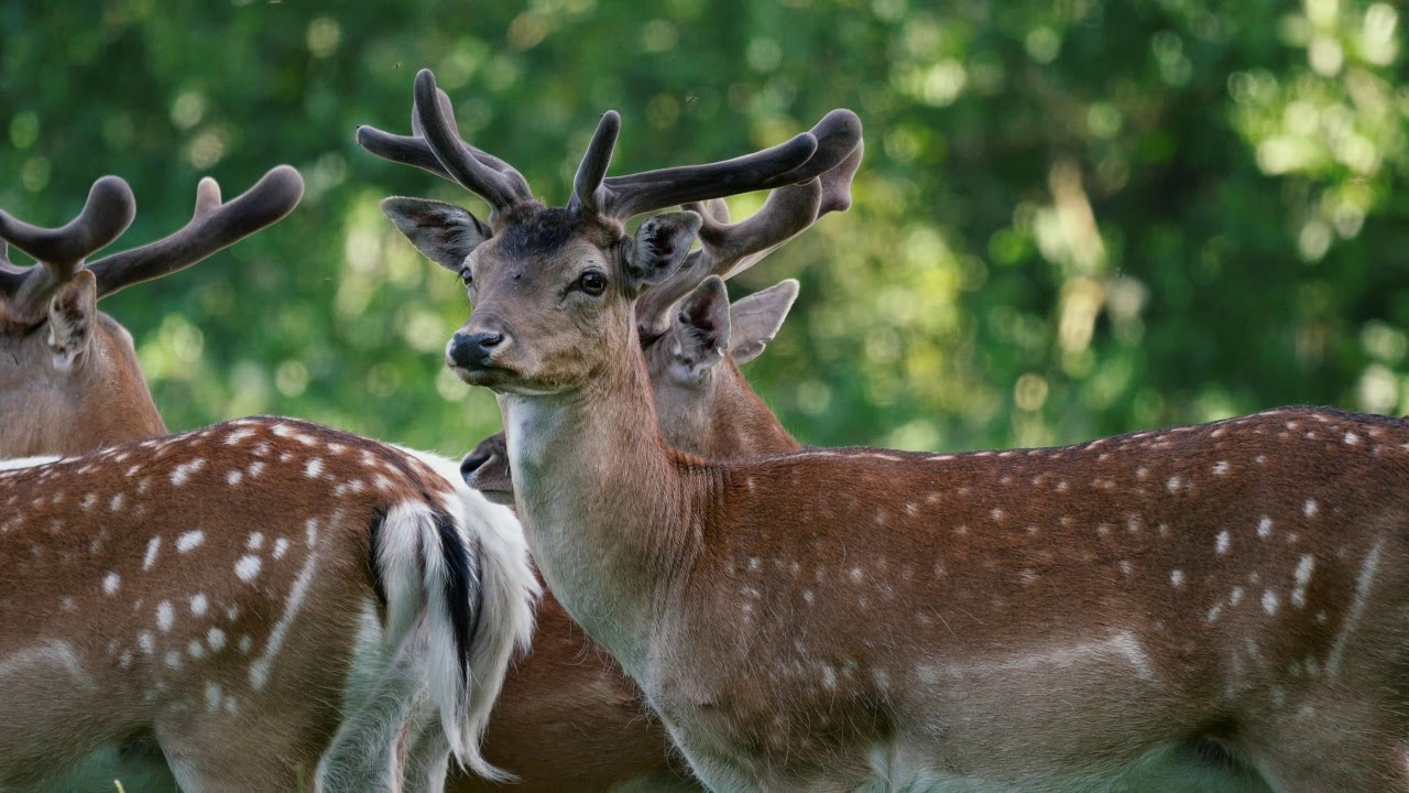 Deer Management - For the Greater Good