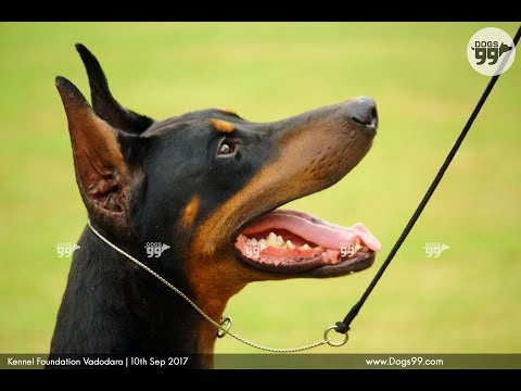 Vadodara Dog Show 2017 Best in Show Results | 10 Sep 2017