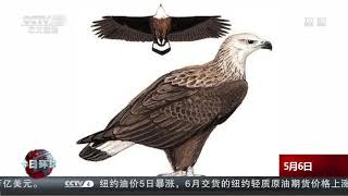 [今日环球]云南保山:濒危玉带海雕现身青华海湿地公园| CCTV中文国际