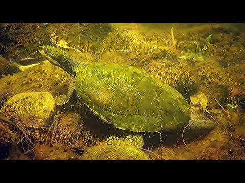 Manning River Turtle 2017